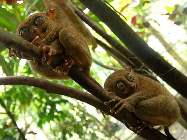 khỉ lùn Tarsier