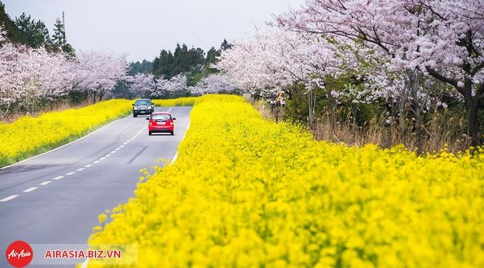 Lễ hội hoa anh đào trên đảo Jeju